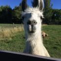 Meet Cuzco!