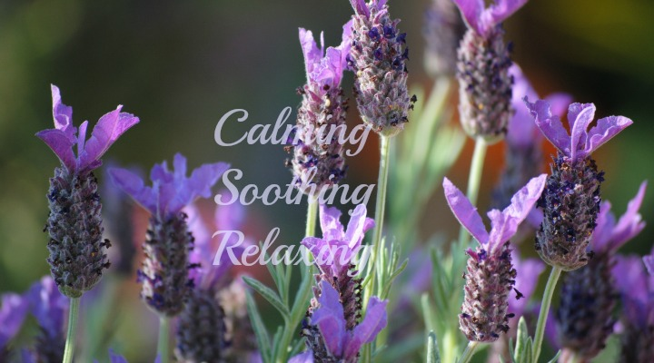 Managing Holiday stress with lavender essential oil